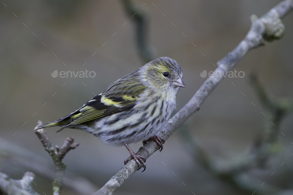Eurasian siskin (Spinus spinus) - Stock Photo - Images