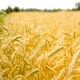Wheat Field with a Beautiful Background - VideoHive Item for Sale