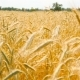 Beautiful Wheat in the Field. Swaying in the Wind - VideoHive Item for Sale
