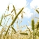 Beautiful Wheat on Blue Sky Background - VideoHive Item for Sale