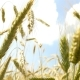 Green Wheat . Delayed Shooting. The Movement in the Wind - VideoHive Item for Sale