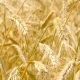 Wheaten  in Motion. - VideoHive Item for Sale