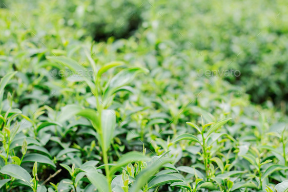 Growing tea with blurred background - Stock Photo - Images