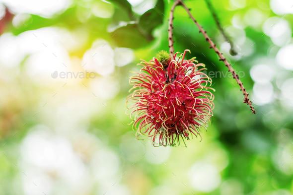 rambutan with the sun shines - Stock Photo - Images