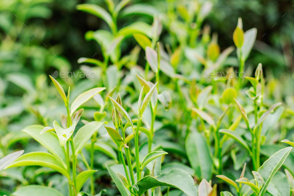 tea growing with green background - Stock Photo - Images