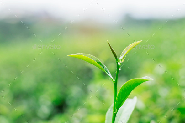 tea leaves with green background - Stock Photo - Images