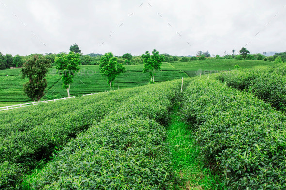 Tea plantation and natural freshness - Stock Photo - Images