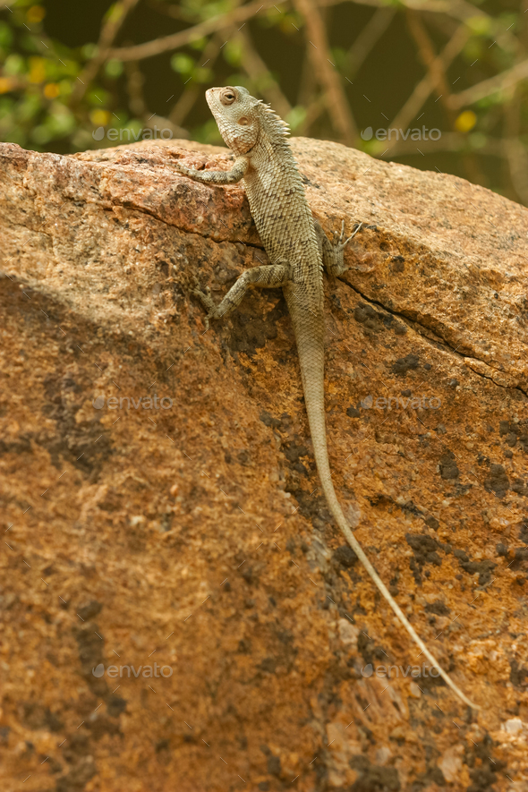 Lizard in Sri Lanka - Stock Photo - Images