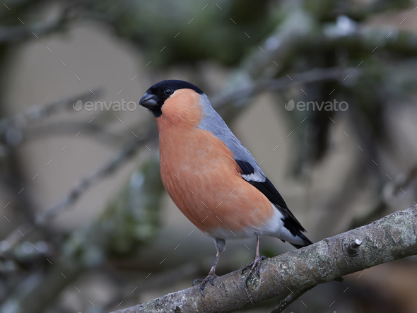 Eurasian bullfinch (Pyrrhula pyrrhula) - Stock Photo - Images