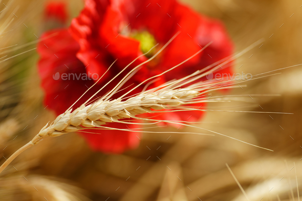 Field of golden wheat with red poppy flowers - Stock Photo - Images