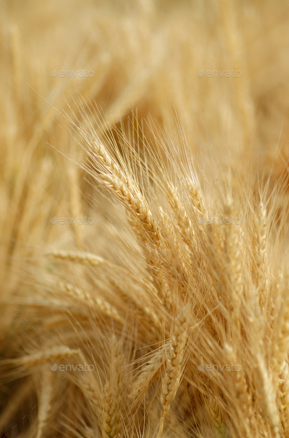 Field of golden wheat - Stock Photo - Images