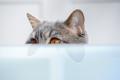 Cat British Breed - PhotoDune Item for Sale