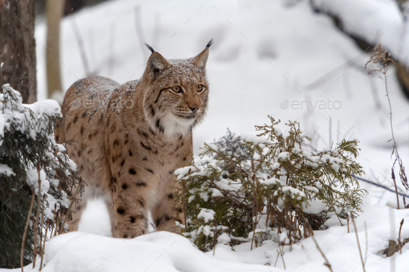Lynx on the snow - Stock Photo - Images