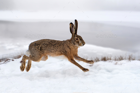 Hare running in the field - Stock Photo - Images