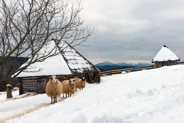 Sheep in winter time - Stock Photo - Images