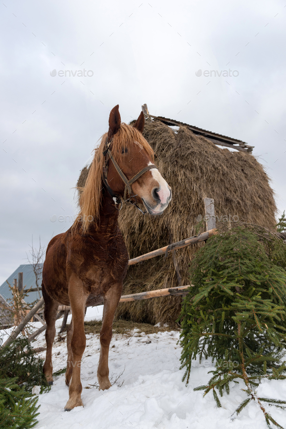 Brown horse in winter farm - Stock Photo - Images