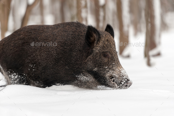 Wild boar in winter forest - Stock Photo - Images