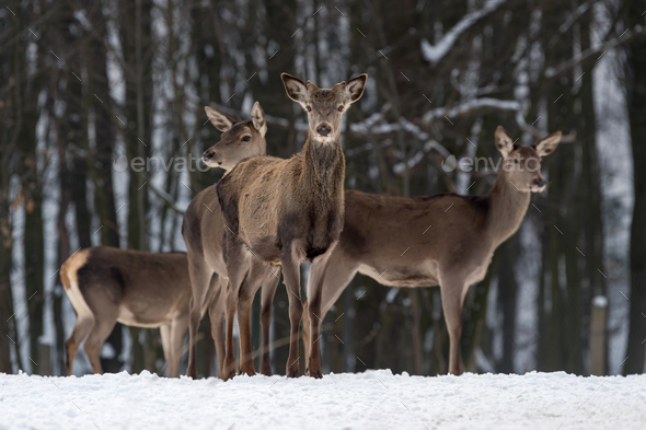 Deer in winter forest - Stock Photo - Images
