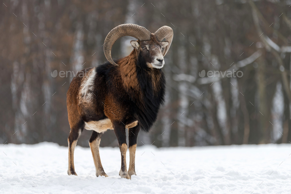 Mouflon, Ovis orientalis, forest horned animal in nature habitat - Stock Photo - Images