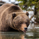 Wild brown bear near a forest lake - PhotoDune Item for Sale
