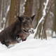 Wild boar in winter forest - PhotoDune Item for Sale
