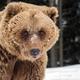 Brown bear portrait - PhotoDune Item for Sale