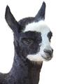 Alpaca (Vicugna pacos) - PhotoDune Item for Sale