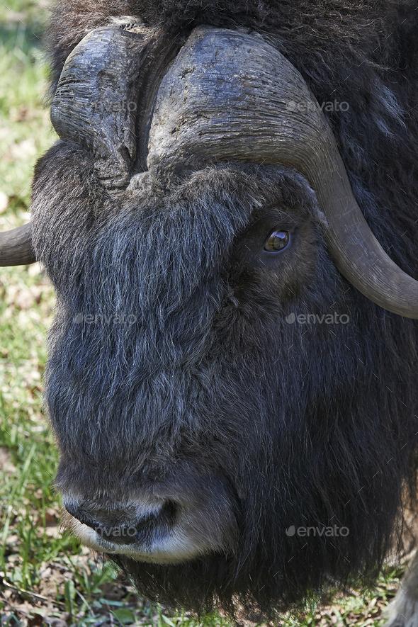Muskox (Ovibos moschatus) - Stock Photo - Images