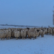 flock of sheep in winter - PhotoDune Item for Sale