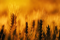 Ripe wheat field - PhotoDune Item for Sale