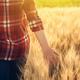 Female farmer in plaid shirt touching wheat crop ears - PhotoDune Item for Sale