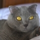 British Shorthair Cat with Yellow Eyes Lying on the Bed - VideoHive Item for Sale