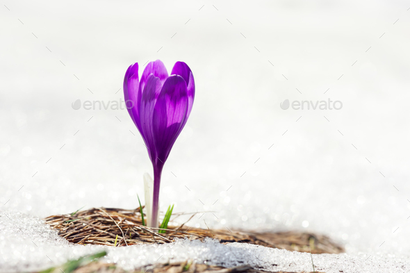 Alone crocus flower in snow - Stock Photo - Images