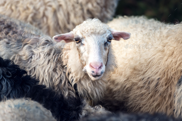 Herd of sheeps closeup - Stock Photo - Images