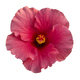 Pink hibiscus flower isolated on white - PhotoDune Item for Sale