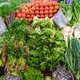 Lettuce, corncob and tomatoes for sale - PhotoDune Item for Sale