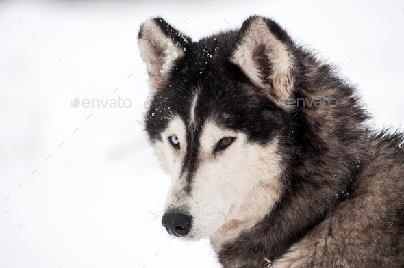 Husky dog portrait in the winter snow - Stock Photo - Images