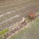 Asian Farmer Plowing Rice Paddy Field Using Buffaloes Bulls. Traditional Agriculture Farm - VideoHive Item for Sale