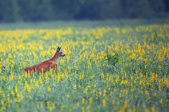 Roe-deer in the flowers - Stock Photo - Images