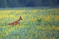 Roe-deer in the flowers - PhotoDune Item for Sale