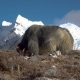Yaks in the Himalayas - VideoHive Item for Sale