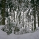 Winter Forest, Trees in the Snow, Light Snow Falls - VideoHive Item for Sale