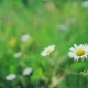 Chamomile Flowers . A Group of Daisies, Sway Gently in the Breeze. - VideoHive Item for Sale