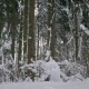 Winter Forest, Trees and Light Snow Falls - VideoHive Item for Sale