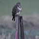Common buzzard (Buteo buteo) - PhotoDune Item for Sale