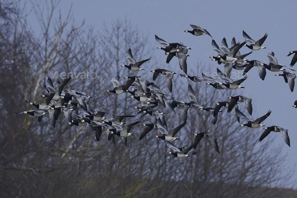 Barnacle geese (Branta leucopsis) - Stock Photo - Images