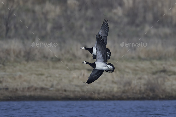 Barnacle geese (Branta leucopsis) - Stock Photo - Images