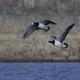 Barnacle geese (Branta leucopsis) - PhotoDune Item for Sale