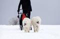 Sledding with spitz dogs in Romania - PhotoDune Item for Sale