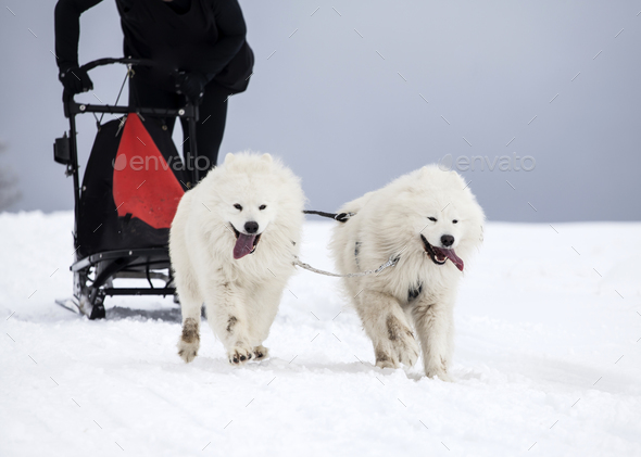 Sledding with spitz dogs in Romania - Stock Photo - Images